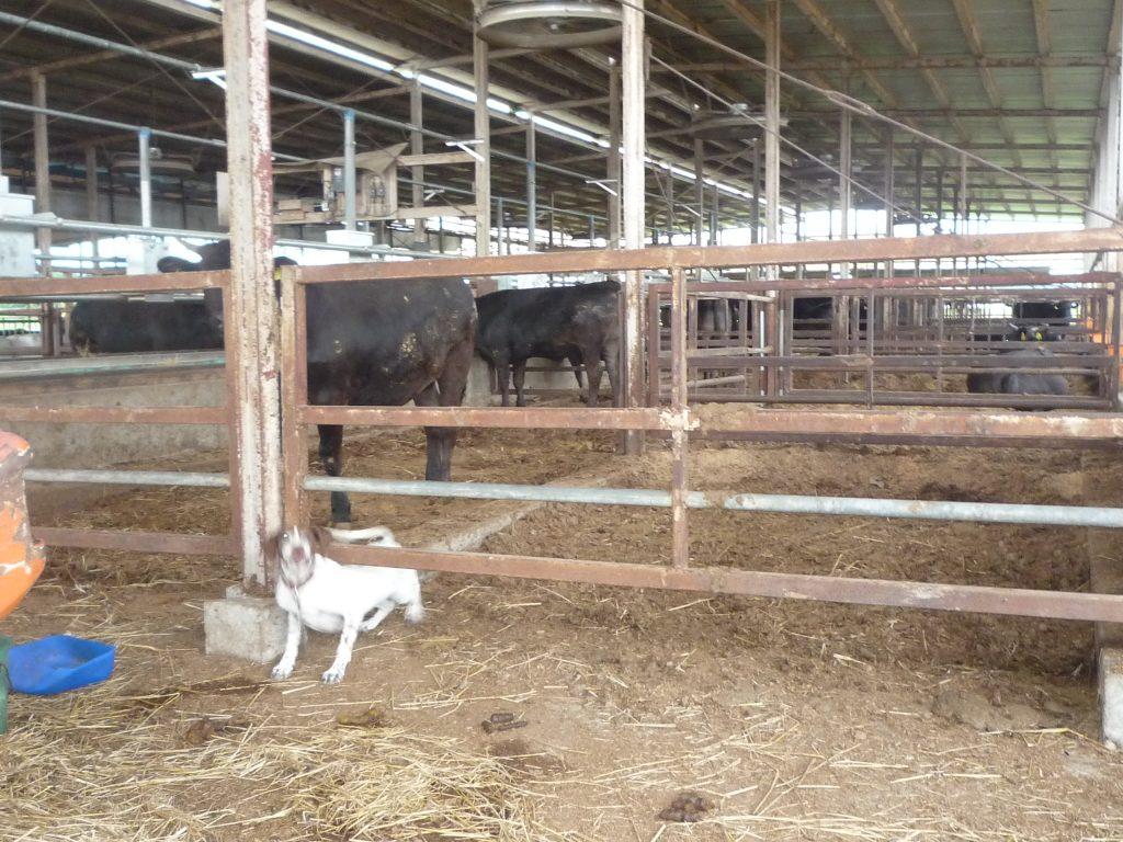 肥育牛舎内の様子